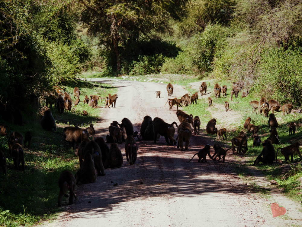 Paviane im Lake Manyara Nationalpark