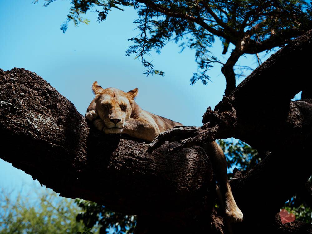 Schlafender Löwe auf einem Baum