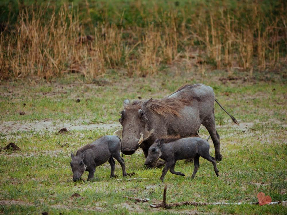 Warzenschweine im Tarangire Nationalpark