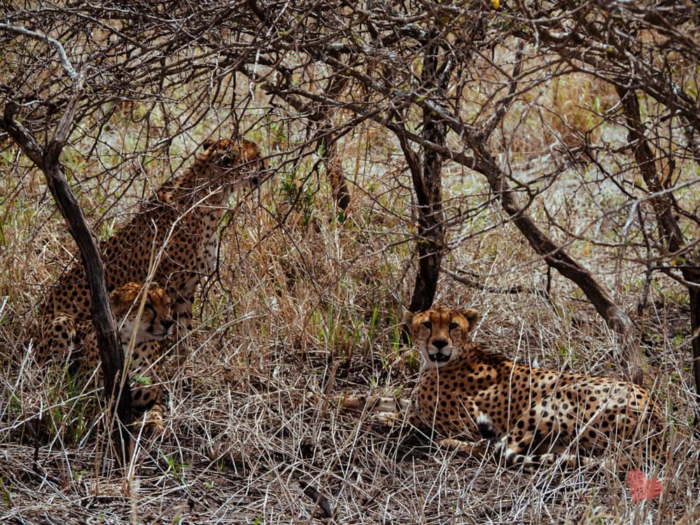 Geparden im Tarangire Nationalpark