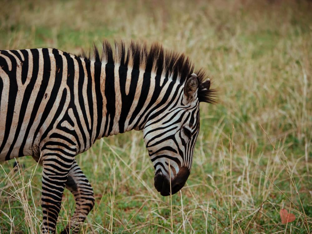 Zebra im Tarangire Nationalpark