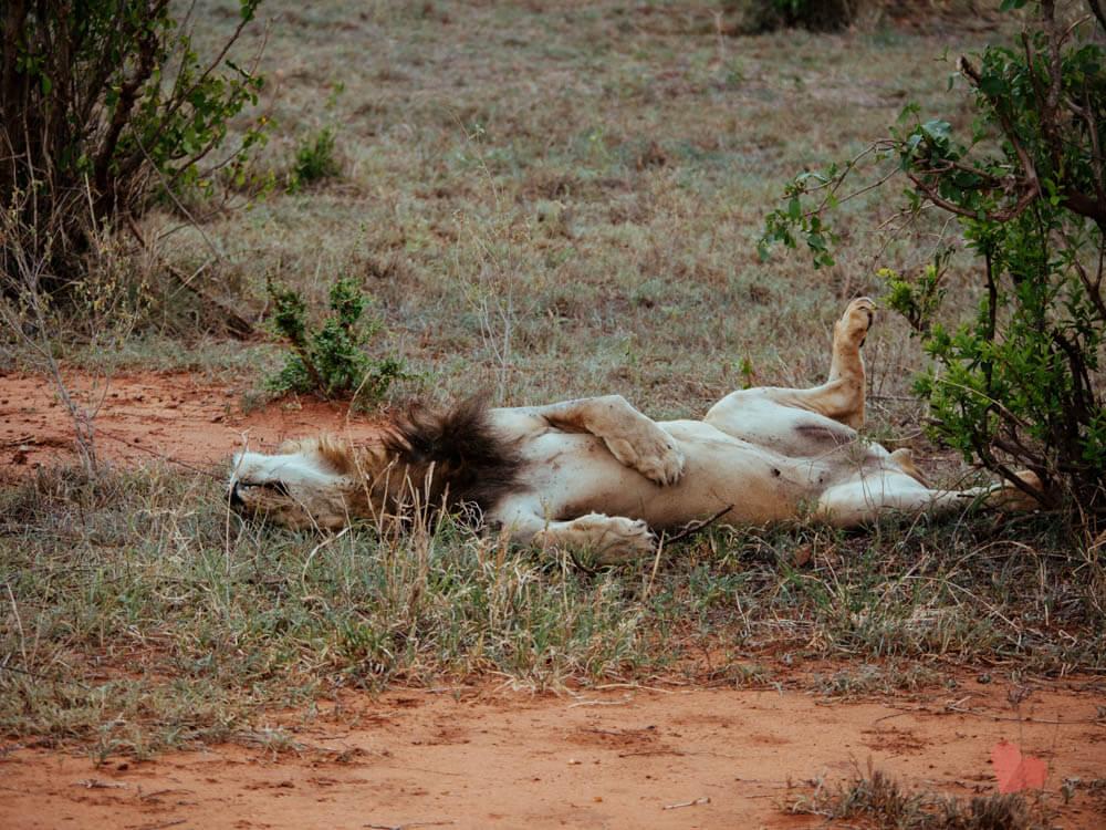 Löwe im Tarangire Nationalpark