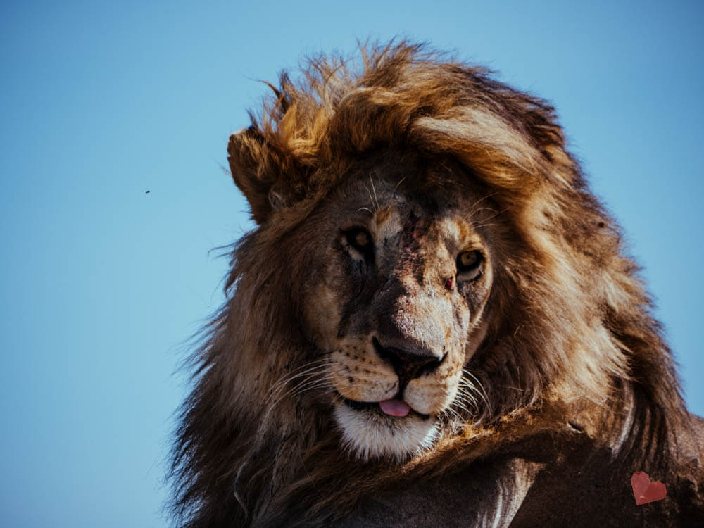 Löwe mit Löwin in der Serengeti