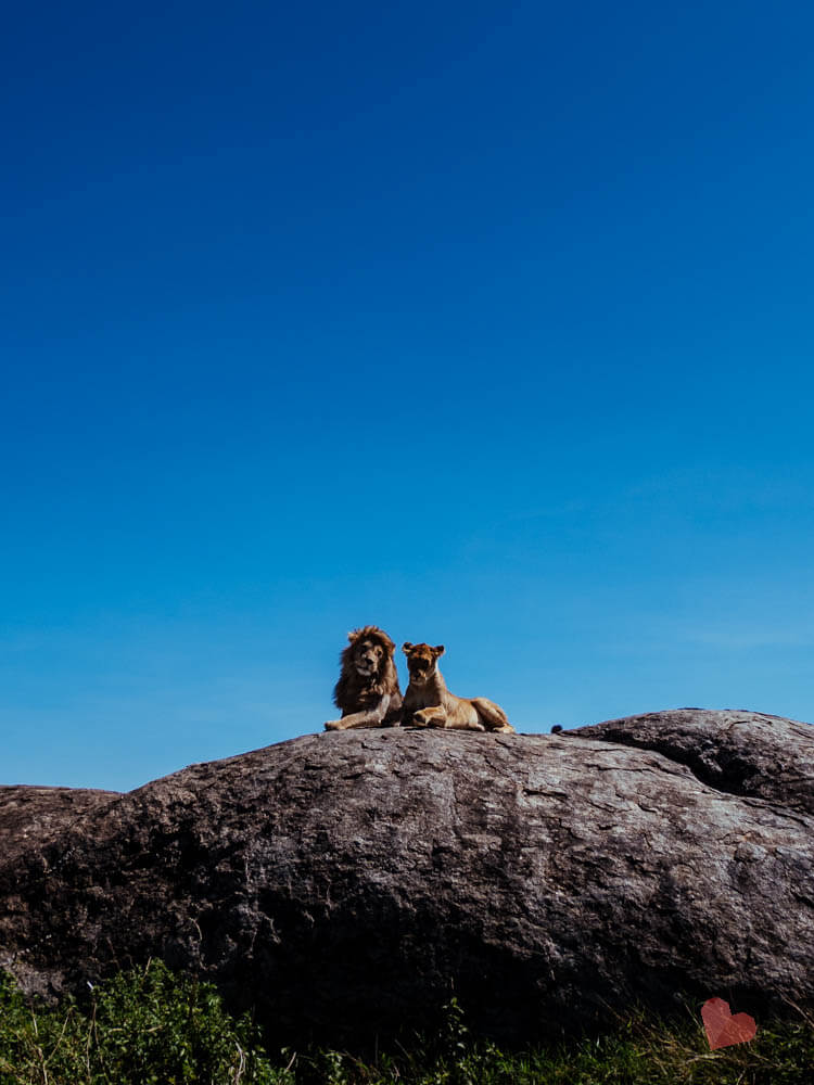 schmusende Löwen auf Kopje Fels in der Serengeti