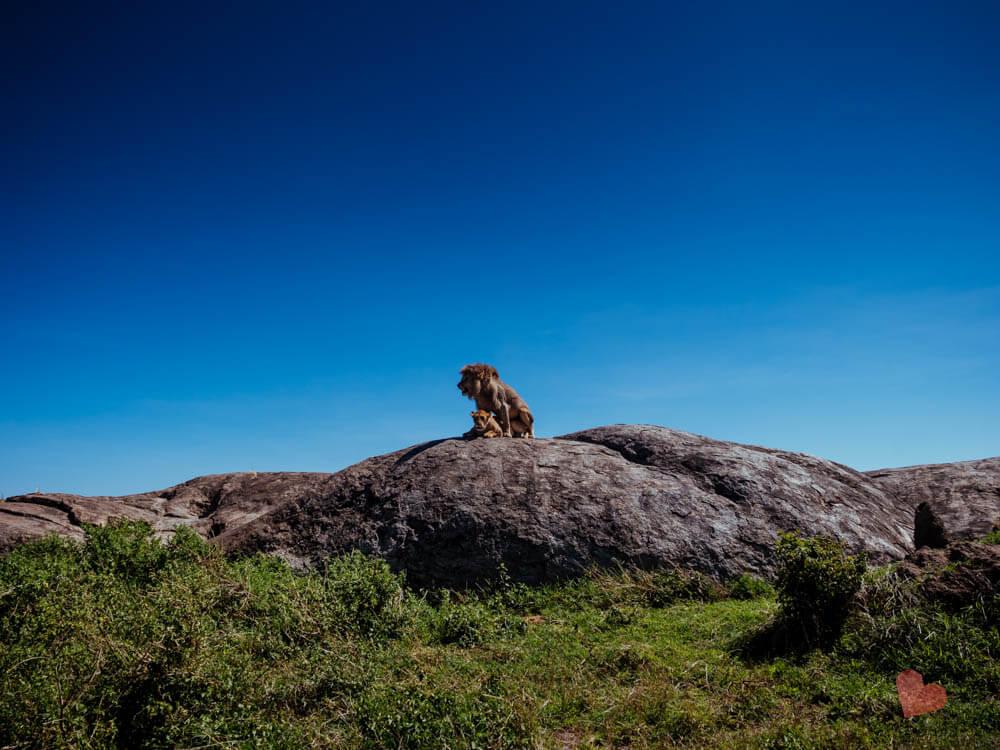 Löwen haben Geschlechtsverkehr auf einem Fels in der Serengeti
