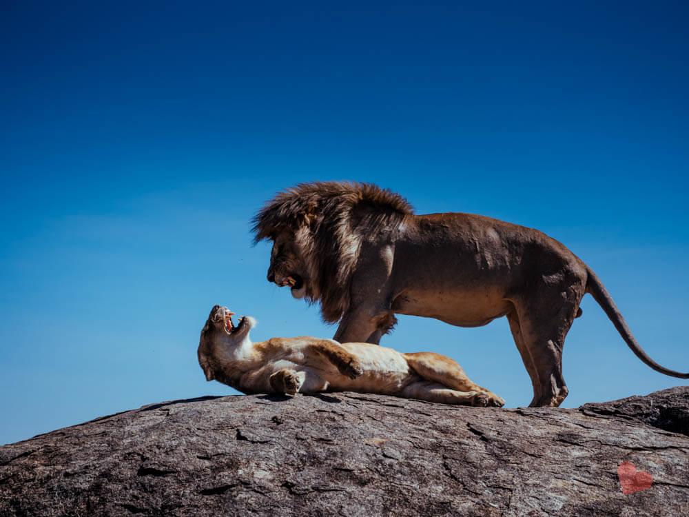 Paarende Löwen in der Serengeti auf Kopje Fels
