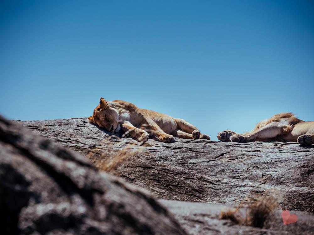 Schlafende Löwin auf Fels
