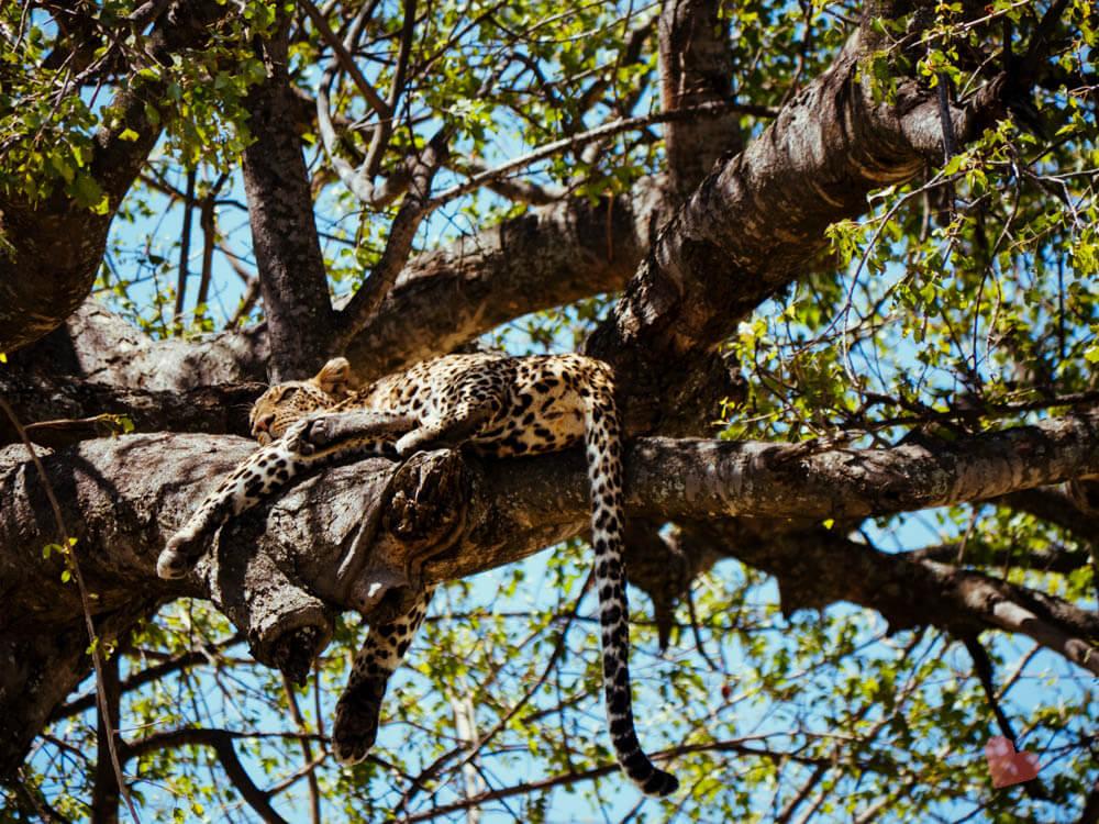 Leopard auf Baum in der Serengeti