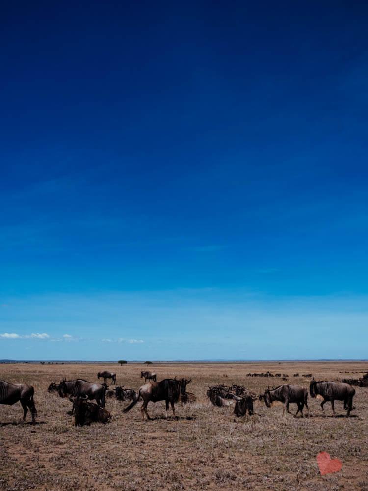 Gnu Herde in der Serengeti