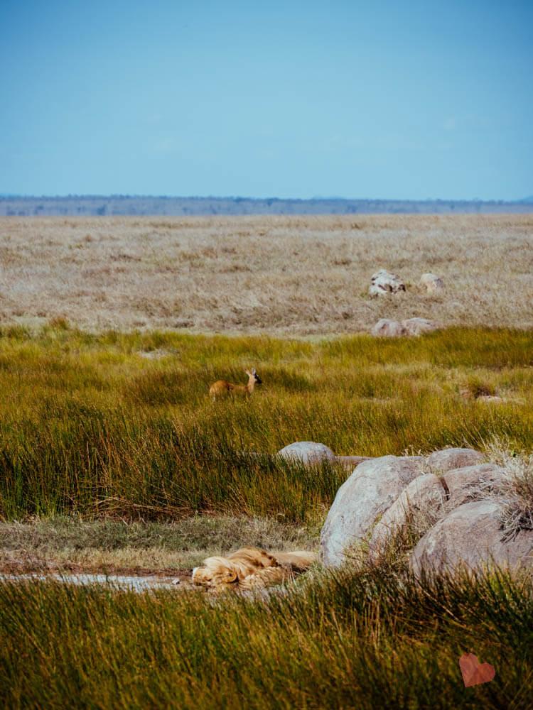Schlafender Löwe dahinter Antilope in der Serengeti