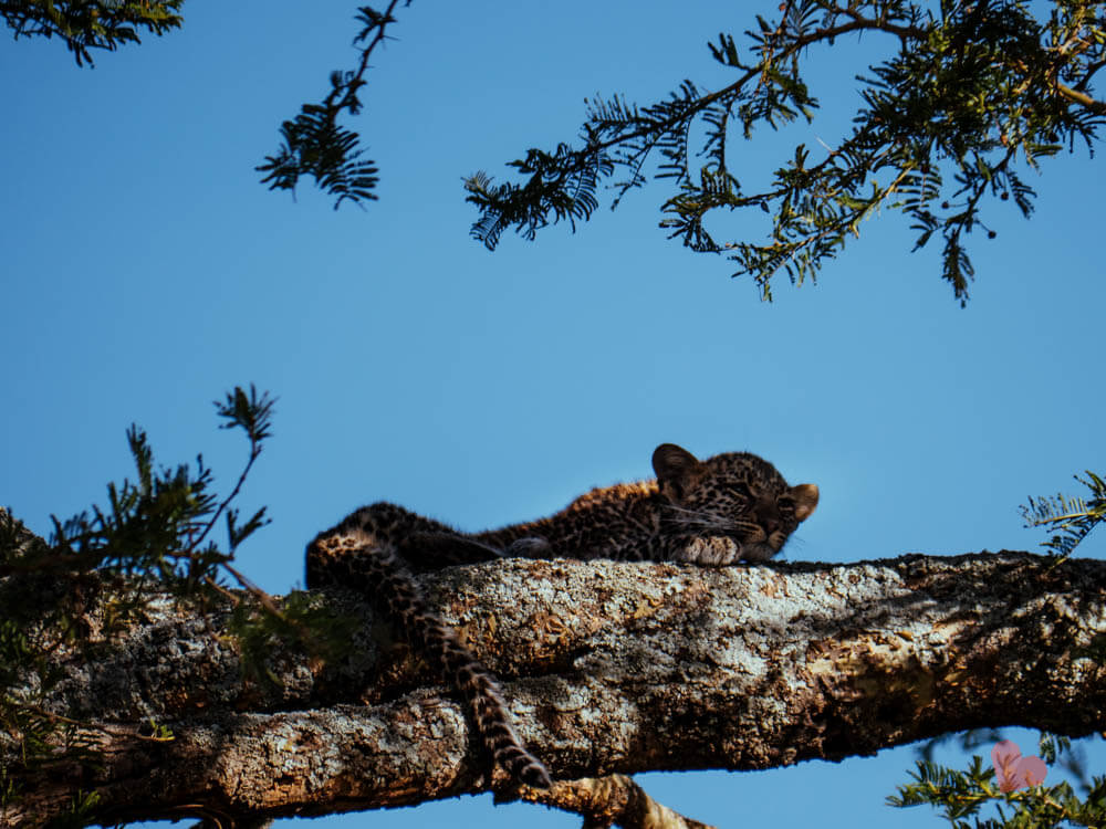 Baby Leopardenbaby in der Serengeti auf Baum