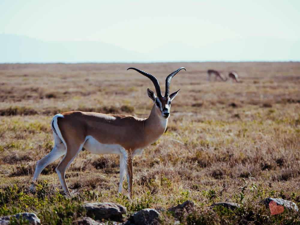 Antilope in der Serengeti