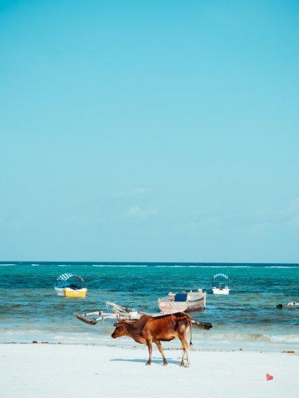 Kuh am Strand von Matemwe