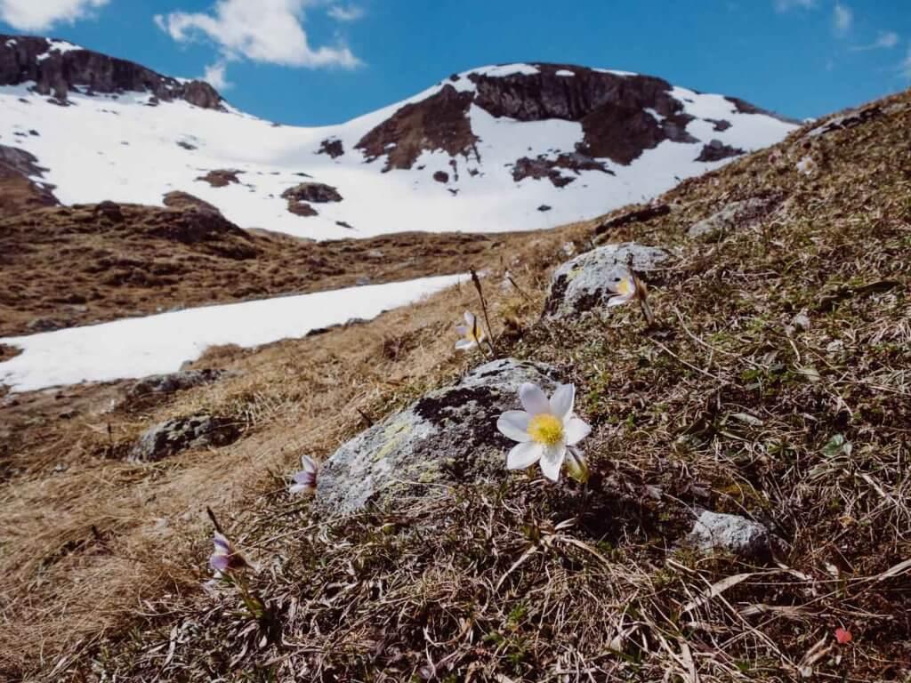 Alpenblumen auf der Sesvenna Ebene