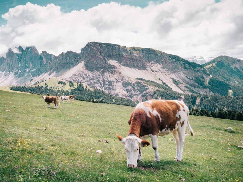 Urlaub in den Dolomiten - Wanderung Resciesia - Puez-Geisler - mit Kühen